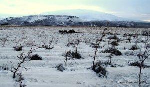 Birkifræ á 6 ára gömlu birki á bersvæði í nágrenni Sölvahrauns.